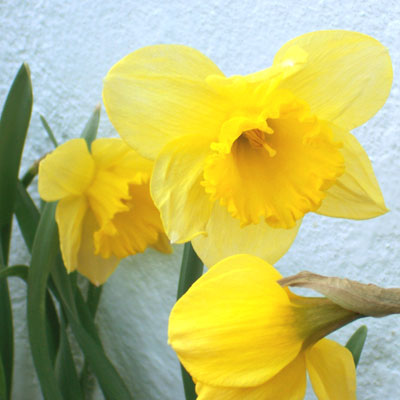 daffodil-sq.jpg