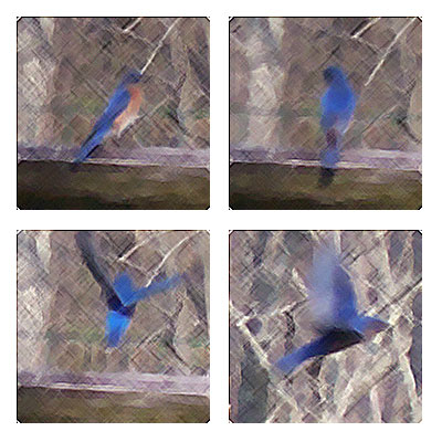 bluebird-quad.jpg
