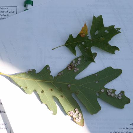 oak-leaf-gall