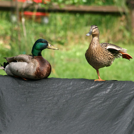 ducks03
