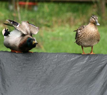 ducks04