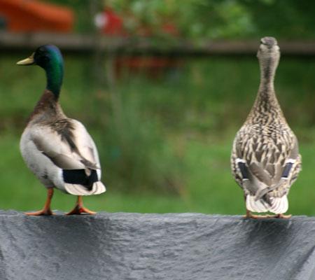 ducks08
