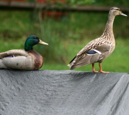 ducks09